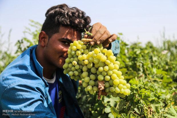 28 درصد سطح اراضی زیر کشت انگور آبی استان به بیجار اختصاص دارد