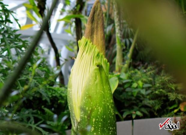 رونمایی از گل جسد در آمازون!