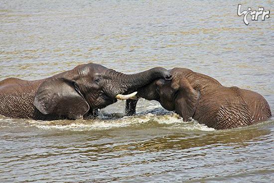 حقایق جالب و باورنکردنی درباره فیل ها