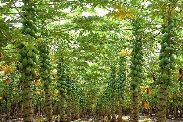 کاشت گیاه پاپایا برای نخستین بار در استان یزد انجام شد