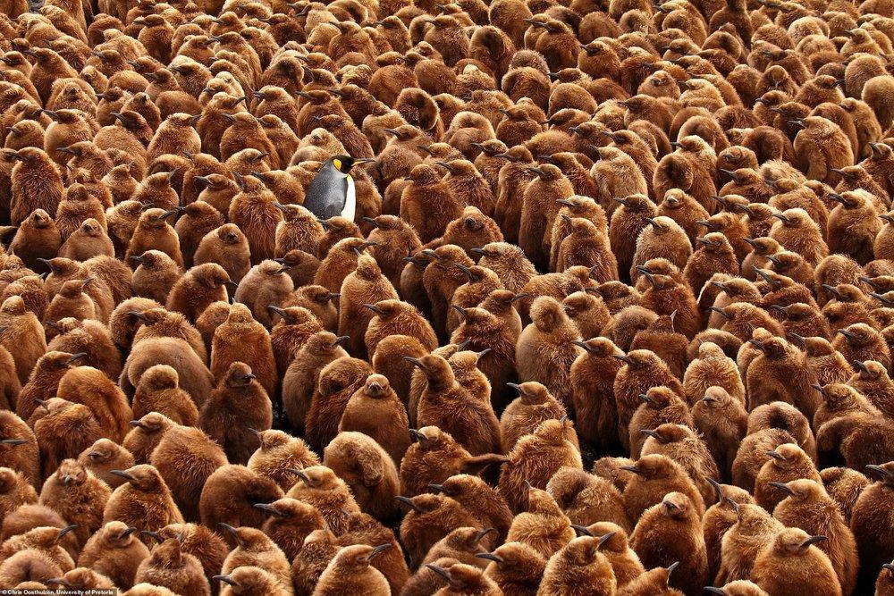 پادشاه پنگوئن؛ برنده مسابقه عکاسی جامعه زیست شناسی بریتانیا، عکس