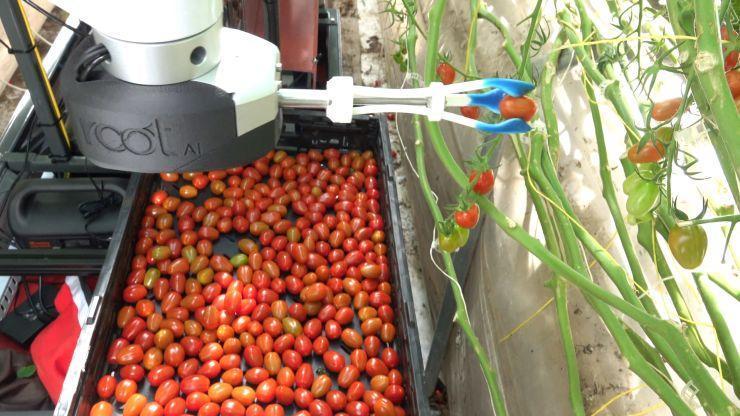 روبات هوشمندی که گوجه فرنگی می چیند