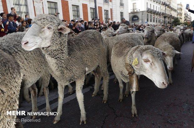 آنالیز ژنهای بزرگ اثر در چندقلوزایی نژادهای گوسفند بومی