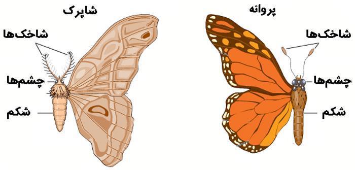 فرق شاپرک و پروانه چیست و هر کدام چه ویژگی هایی دارند؟