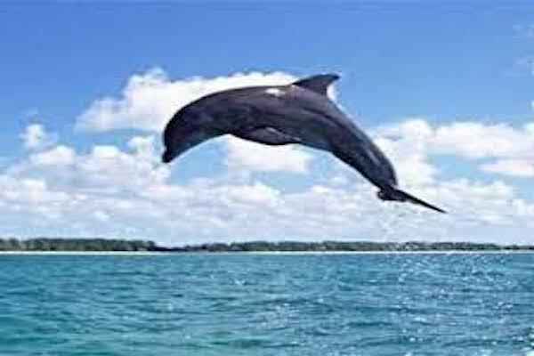 بوشهر پذیرای دلفین های گوژپشت شد