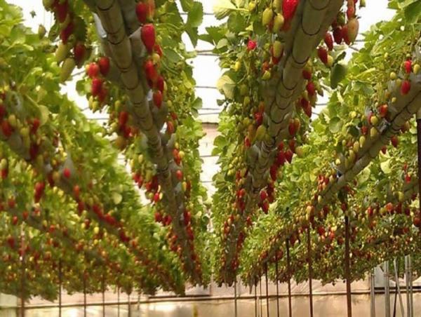 بهره برداری از نخستین گلخانه هیدروپونیک صنعتی